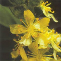 Bachblüten Original  Agrimony 20 ml