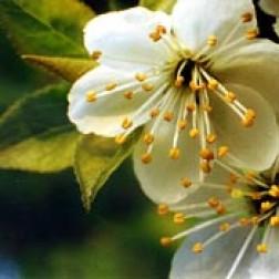 Bachblüten Original  Cherry Plum 20 ml