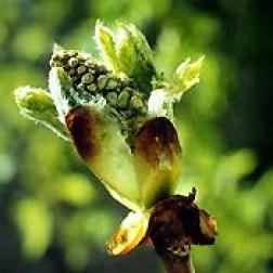 Bachblüten Original  Chestnut Bud 20 ml