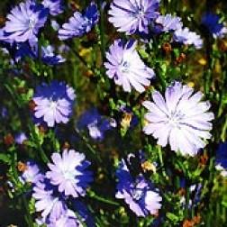 Bachblüten Original  Chicory 20 ml