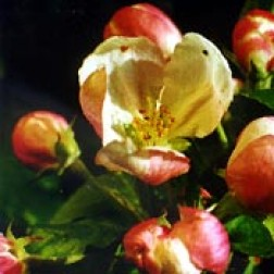 Bachblüten Original  Crab Apple 20 ml